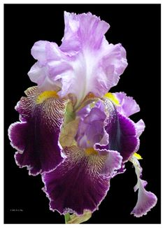Purple Iris - love these!