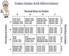 Chart of codons and amino acids