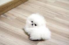 綿毛みたいな子犬