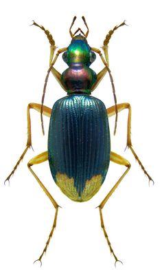 Chlaenius apicalis