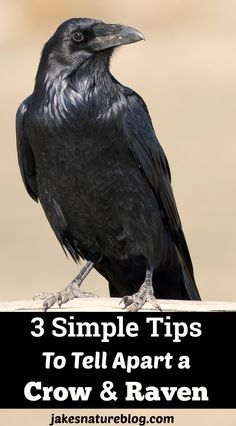 3 simple tips are so great! Now I can tell apart a crow and raven easily. These 3 simple tips are so great! Now I can tell apart a crow and raven easily. Raven Bird, Crow Bird, Crow Or Raven, Raven Feather, Escorpion Tattoo, Tattoo Tree, Samoan Tattoo, Polynesian Tattoos, Yakuza Tattoo