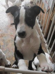 Oliver (neutered, chipped, shots $75 adopts) is an adoptable Bull Terrier Dog in Copperas Cove, TX. Oliver is playful, but also rather laid back and overall easy going. He loves people and getting som...