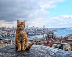 Buyuk Valide Han-Istanbul - Cats and Dogs House I Love Cats, Crazy Cats, Cool Cats, Animals And Pets, Cute Animals, Photo Chat, Orange Tabby Cats, Tier Fotos, All About Cats