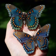 √ 6 different types of butterflies The Effective Pictures We Offer You About Insects wings A quality picture can tell Butterfly Photos, Butterfly Kisses, Butterfly Wings, Picture Of A Butterfly, Butterfly Wallpaper, Purple Butterfly, Purple Roses, Monarch Butterfly, Beautiful Creatures
