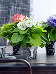 DIY: Primula in a black and white jacket