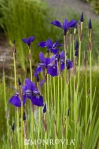 Caesar's Brother Siberian Iris - Excellent late spring/early summer lush green foliage with brilliant deep purple flowers.