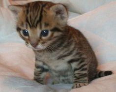toyger kitten...I WANT ONE!!