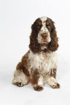 """Click visit site and Check out Cool """"English Cocker Spaniel"""" T-shirts. This website is outstanding. Tip: You can search """"your name"""" or """"your favorite shirts"""" at search bar on the top."""