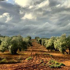 Olives, Country Life, Country Roads, Mediterranean Garden, Olive Tree, Bottle Design, Farm Life, Magnolia, Vineyard