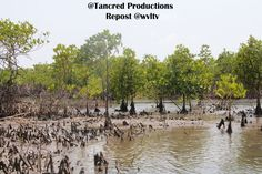 Reasons for the massive destruction was that 80% of the traditional mangrove forest on the coastal belts and river banks, are due to prawn and fish farming, rice farming, deforestation for charcoal production and cooking fuel, partly driven by rampant poverty in the area with no alternative livelihood for the poor who are struggling to survive on meagre incomes.