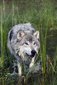 Anonymous said: Out of interest, what are the colour variations of canis lupus and other wolf subspecies? Thank you for your time :) Answer: Colour variations per wolf species: - Gray wolves (Canis. Wolf Photos, Wolf Pictures, Beautiful Creatures, Animals Beautiful, Tier Wolf, Animals And Pets, Cute Animals, Wolf Love, Beautiful Wolves