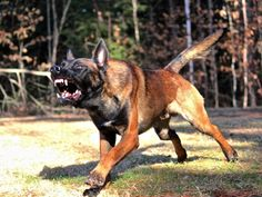 Horton, a Belgian Malinois.  www.protectiondogsplus.com