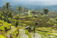 Jetiluwih rice terraces in Bali, Indonesia, UNESCO World Heritage. ANIA W PODRÓŻY travel blog and photography