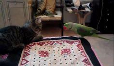 【動画】猫の鳴き声を真似しながら近づくインコに戸惑う猫 http://skaihahiroi.blog.fc2.com/blog-entry-210.html…