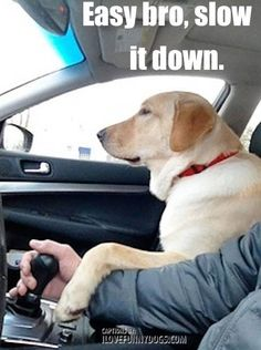 Labrador Retriever co-pilot Lab Puppies, Cute Puppies, Cute Dogs, Animals And Pets, Funny Animals, Cute Animals, Labrador Bebe, Dogs Trust, Golden Retrievers
