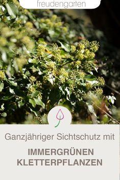 Sichtschutz mit immergrünen Kletterpflanzen. Diese Bepflanzung schützt das ganze Jahr vor neugierigen Blicken. #Bepflanzung #Garten #Pflanzen #freudengarten
