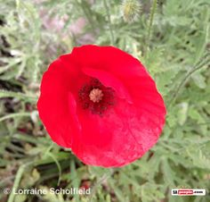 Remembrance Day - Poppies & our Fallen Soldiers - SAPeople - Your Worldwide South African Community