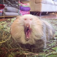 What Is The Best Guinea Pig Bedding? Photo by picto:graphic Guinea pig owners routinely utilize wood or paper types of shavings as the bedding for their pets. Chinchillas, Hamsters, Rodents, Baby Guinea Pigs, Guinea Pig Care, Guinea Pig Breeding, Guniea Pig, Very Cute Baby, Cute Piggies