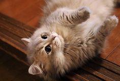 #Cats  #Cat  #Kittens  #Kitten  #Kitty  #Pets  #Pet  #Meow  #Moe  #CuteCats  #CuteCat #CuteKittens #CuteKitten #MeowMoe      うちの猫()です。 (@d_saito02)さんより #CuteCats...   https://www.meowmoe.com/29372/