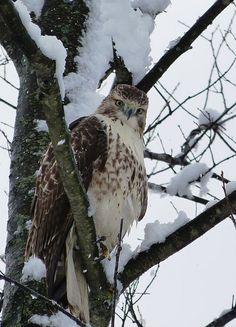 Hawk near Battle Creek, Michigan