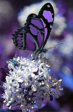 ~~butterfly by barryed~~: Beautiful Butterflies, Butterfly Bush, Butterflies Insects, Flutterby, Photo Butterfly Photos, Butterfly Kisses, Butterfly Wallpaper, Purple Butterfly, Butterfly Flowers, Butterfly Wings, Butterfly Mobile, Paper Butterflies, Butterfly Painting