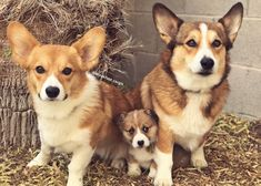 Biscuit Gravy and Waffle. The Breakfast Club Corgis!http://ift.tt/2DDnqTG