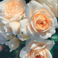 """Champagne Moment"" Rose - White, near white or white blend Floribunda. Bred by Tim Hermann Kordes (Germany, before Extremely healthy rose, the flowers are pink with cream shading and an apricot center and have a mild, sweet fragrance. Beautiful Roses, Beautiful Flowers, Romantic Roses, Fresh Flowers, Kordes Rosen, Color Melon, David Austin Rosen, Orange Rosen, Floribunda Roses"
