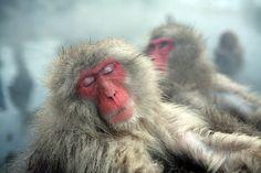 Snow Monkey taking nap in de hot spring water in Jigokudani, Nagano, Chubu_ Japan