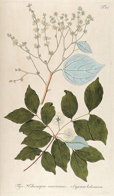 Botanical illustration from the Biodiversity Heritage Library