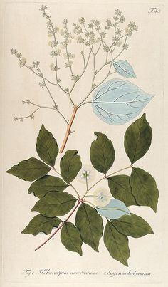 Botanical illustration from the Biodiversity Heritage Library