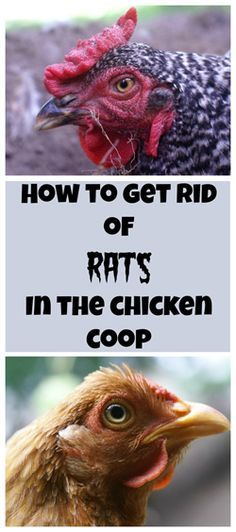 How to get rid of rats in the chicken coop: The Definitive Guide ~ Backyard Chicken Project ~