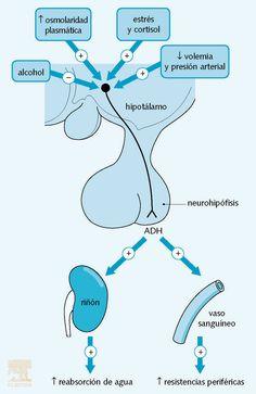 Regulación hormonal de la osmolalidad plasmática por la ADH