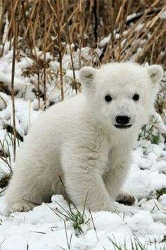 Polar bear cubs are the cutest thing ever Baby Polar Bears, Cute Polar Bear, Polar Cub, Baby Pandas, Nature Animals, Animals And Pets, Wild Animals, Animals Images, Cute Baby Animals