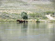 wild horses near Tamgaly Tas - Ili River, Kazakhstan
