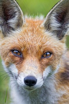 Close portrait of a male fox by Tambako the Jaguar, via Flickr