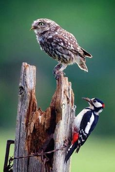 Love owls but the woodpecker is cool too.