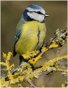 Blue tit on Lichen in the Winter Sun    see How to build design