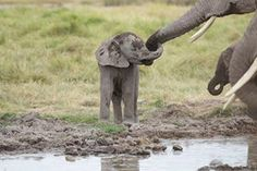 A baby elephant in the Maasai Mara...