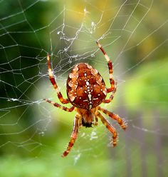 pics of spiders | File:Spider Araneus diadematus.jpg - Wikimedia Commons