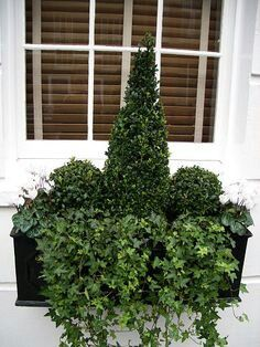 Boxwood and ivy window box                                                                                                                                                                                 More