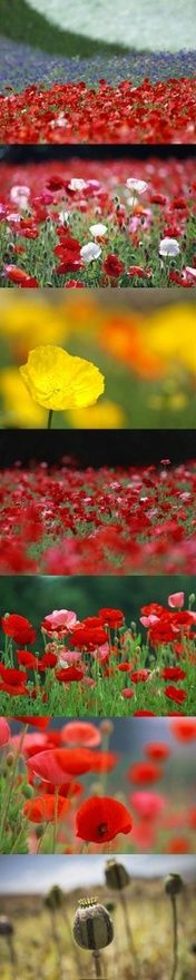 Papoulas, I love poppies! Flowers Nature, Love Flowers, Beautiful Flowers, Poppy Flowers, California Garden, Red Poppies, Amazing Nature, Simply Beautiful, Garden Inspiration