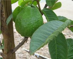 Try growing guava at home.
