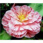 Camellia Trees - price comparison - reduto.com