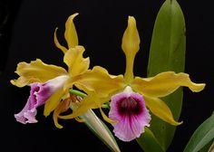 Laelia Rubescens Var Aurea | Laelia tenebrosa var aurea presented by Orchids Limited