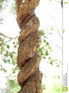 Photo about A closeup shot of twisted entwined vines climbing up each other in a spiral pattern like DNA strands. Image of climber, twist, vine - 71183187 Spiral Pattern, Dna, Vines, Stock Photos, Nature, Plants, Strands, Climbing, Image