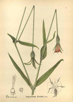 82507 Agrostemma githago L. / Millspaugh, C.F., American medicinal plants, vol. 1: t. 31 (1892)