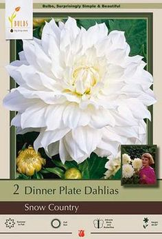 Dinner Plate Dahlia, Dahlia Decorative 'Snow Country' from Netherland Bulb Company - Upright stems support a Dutch summer favorite that blooms all summer long. Easy to grow. Plant in moist fertile soil in full sun. Pinch excess buds and deadhead for more and larger blooms, water well during growing season, especially when grown in containers.
