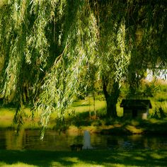 Willow along the bank of lake with swing and play house. Image by Denis Collette.