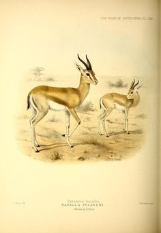 Gazella dorcas pelzelnii