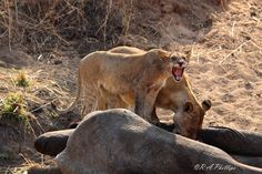How Lions' Hunting Techniques Have Adapted in Ruaha National Park Tanzania Followme #CooliPhone6Case on Twitter Facebook Google Instagram LinkedIn Blogger Youtube